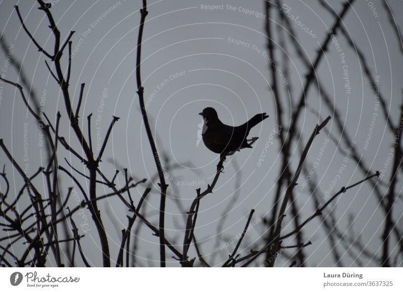 Vogel Silhouette zwischen Zweigen schwarz Tier Außenaufnahme grau Wildtier Natur Umwelt trist natürlich Menschenleer Äste und Zweige Ast Amsel Drossel
