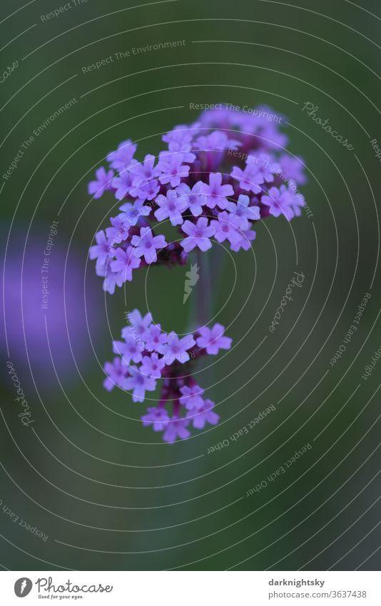 Kleine blaue Blüten Flora floral blumen Blume natürlich Garten Nahaufnahme schön Sommer Blumen Pflanze Frühling Blütezeit grün Saison Schönheit Hintergrund
