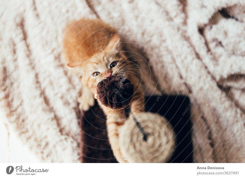 Süßes Ingwer-Kätzchen schläft Katzenbaby niedlich sich[Akk] entspannen Decke Haustier Baby manx schwanzlos kein Schwanz Bobtail heimwärts gemütlich Komfort