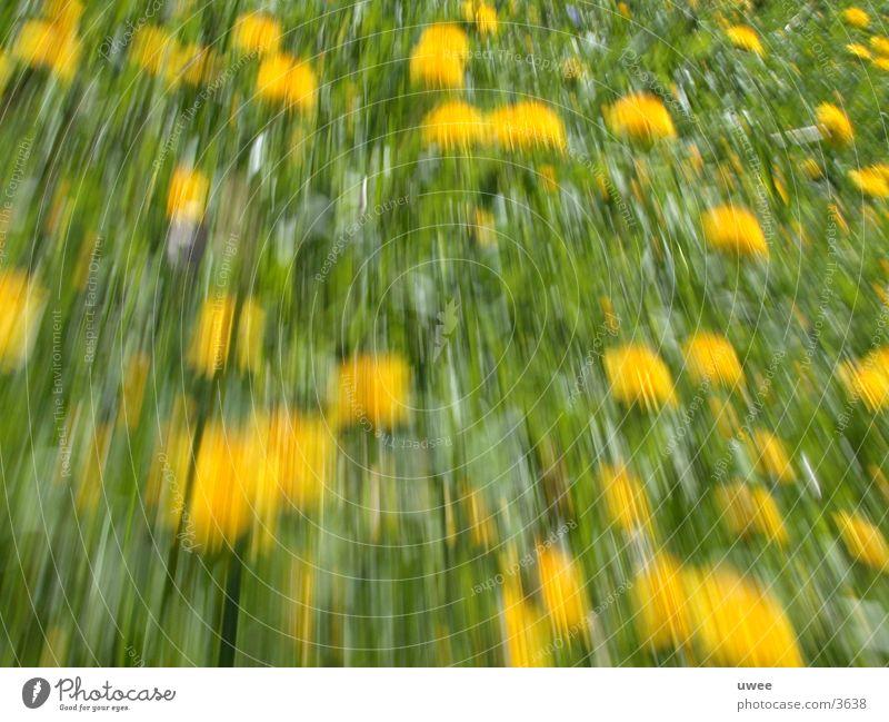 löwenzahn Blume grün Pflanze gelb Wiese Blüte Bewegung Frühling Löwenzahn Rauschmittel Beschleunigung