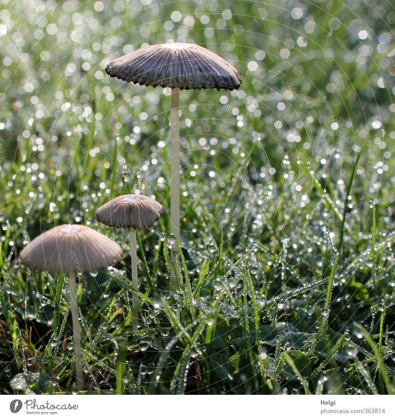 Kuschelgruppe | ...mit nassen Füßen Umwelt Natur Pflanze Wassertropfen Herbst Gras Grünpflanze Pilz Garten glänzend stehen Wachstum ästhetisch einfach klein