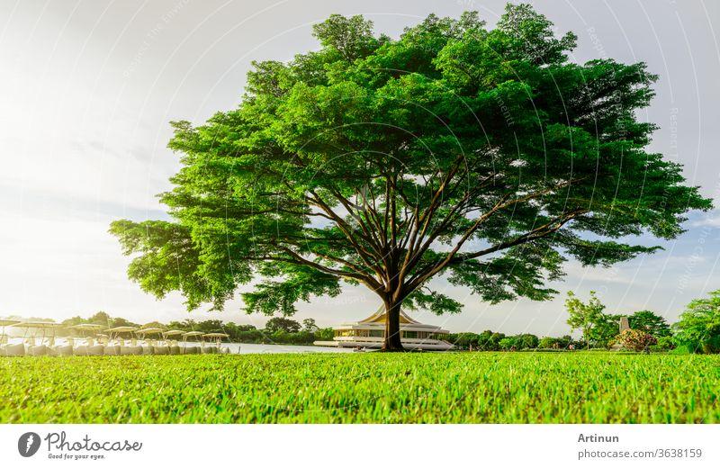 Großer grüner Baum mit schönen Ästen im Park. Grünes Grasfeld in der Nähe des Sees und des Wasserkreislaufs. Rasen im Garten im Sommer mit Sonnenlicht. Sonnenschein zu großem Baum auf grünem Grasland. Naturlandschaft.