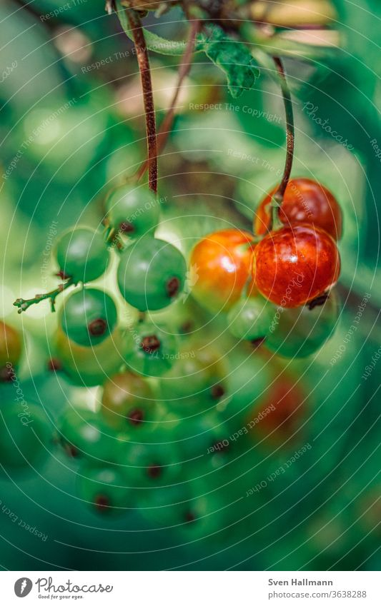 rote und grüne Johannisbeeren Beeren lecker Sommer frisch Frucht Gesundheit gesund Garten Essen saftig pflücken reif Lebensmittel Gesunde Ernährung sauer