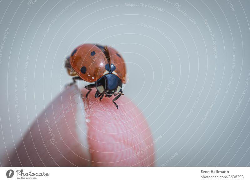 Marienkäfer am Finger Kontrast Detailaufnahme Himmel Zentralperspektive Glücksbringer aufwachen Hintergrund neutral Freisteller klein krabbeln Punkt Frühling
