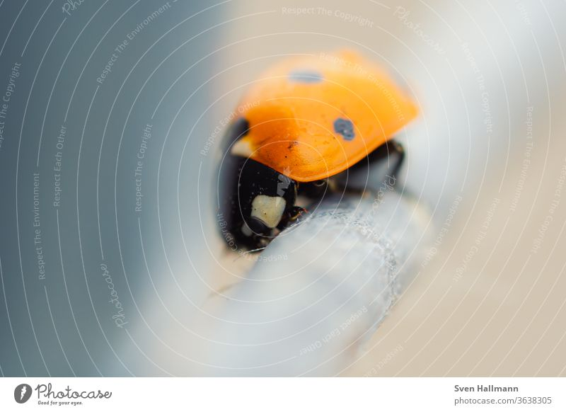 Marienkäfer sitzt auf dem Zaun Käfer rot Tier Glück Natur Insekt Sommer Frühling Farbfoto Außenaufnahme Pflanze schwarz Punkt krabbeln klein Freisteller