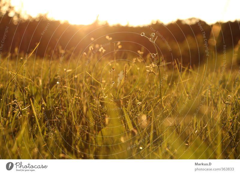 Sommer Wiese Natur Landschaft Sonnenaufgang Sonnenuntergang Schönes Wetter Gelassenheit Glück Farbfoto Außenaufnahme Abend Dämmerung Licht Sonnenlicht