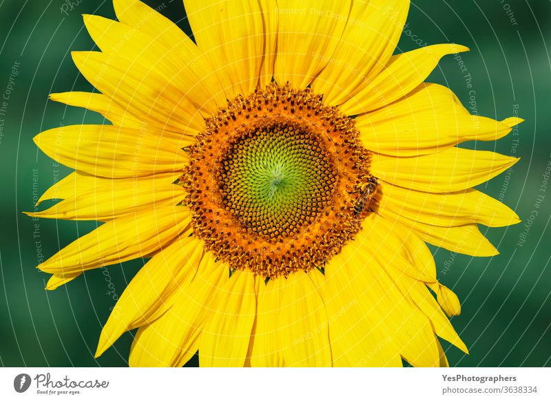 Sonnenblumenkopf im Morgenlicht. Gelbe Blume Nahaufnahme landwirtschaftlich Ackerbau Biene Blütezeit Botanik hell heiter farbenfroh Umwelt Landwirtschaft Blumen