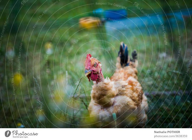 Henne im Gras hinter einem Zaun Pute Außenaufnahme Natur Wiese Farbfoto grün Sommer Hähnchen Tier Federvieh Nutztier Tierporträt Ackerbau Zucht Bauernhof