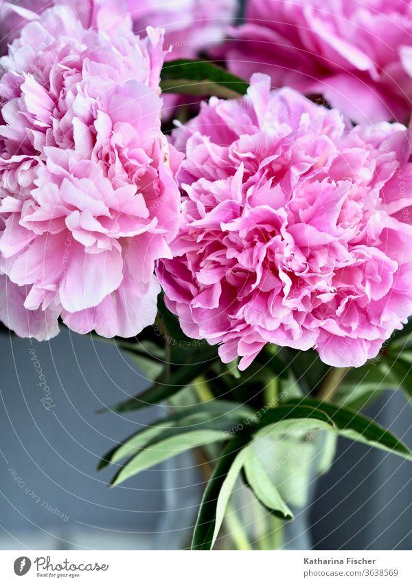 Pfingstrosen rosa Blume Blüte Nahaufnahme Natur Farbfoto Detailaufnahme Sommer Frühling Blühend Duft Blütenblatt Tag schön Innenaufnahme ästhetisch natürlich