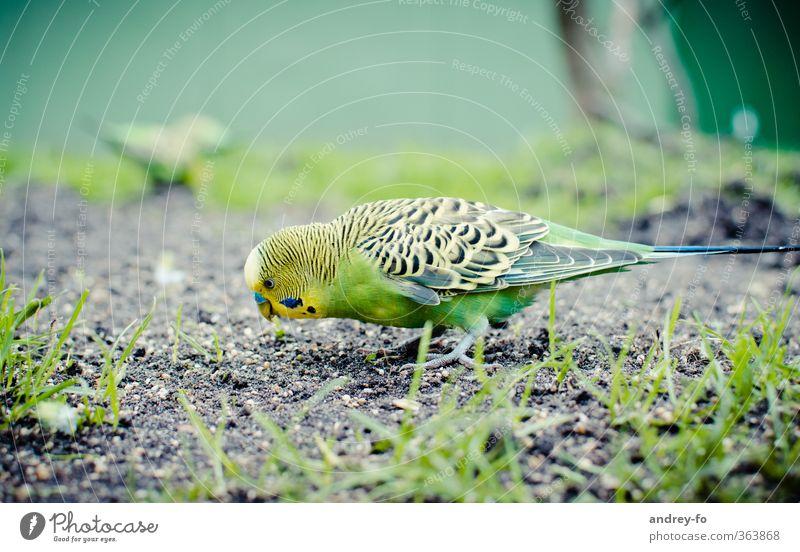 Wellensittich Natur grün schön Sommer Tier gelb Gras Vogel Erde niedlich Suche Zoo Fressen exotisch Futter füttern