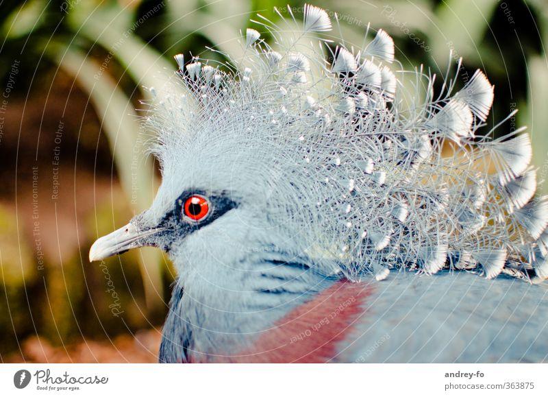 Krontaube blau rot Tier Auge außergewöhnlich Vogel Feder einzigartig fantastisch Tiergesicht exotisch Taube Schnabel schick