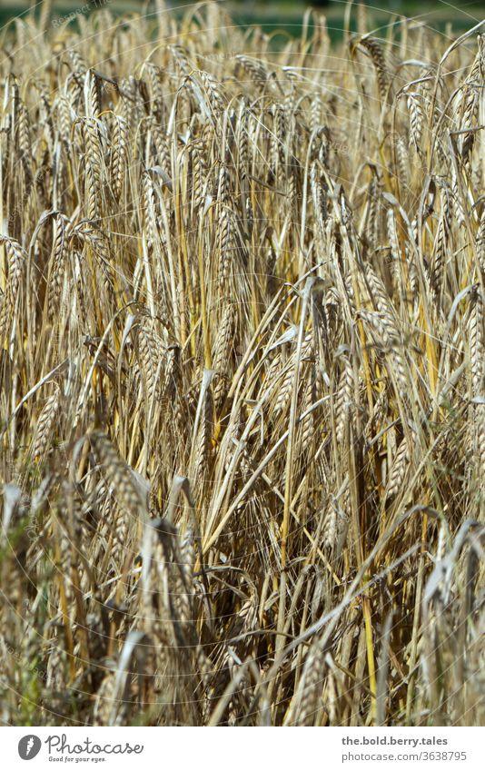 Getreidefeld/Kornfeld kurz vor der Ernte Feld Ähren Weizen Landwirtschaft Ackerbau Natur Sommer Nutzpflanze Pflanze Außenaufnahme Wachstum Ernährung Weizenfeld