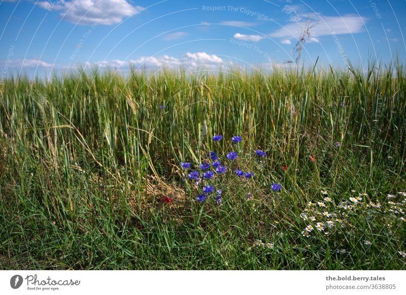 Getreidefeld/Kornfeld mit Kornblumen und Margeriten mit blauem Himmel mit Wolken Margariten blauer Himmel Feld Landwirtschaft Sommer Natur Nutzpflanze Ähren