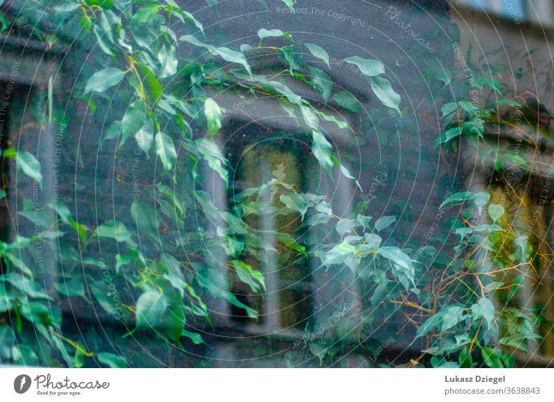 Fenster mit Grünpflanze und Gebäudereflexion abstrakt erfrischend urban dekorieren Licht & Schatten Blatt Efeu im Freien schön wachsend Ansicht Glas natürlich