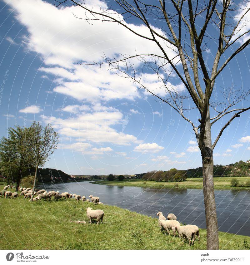 lass es fließen ufer Baum Kanal Elbe Fluss Landwirtschaft blau Himmel Blauer Himmel Sommer Wolken Natur Wind Uferdamm Deich Schaf Lamm Tier Nutztier