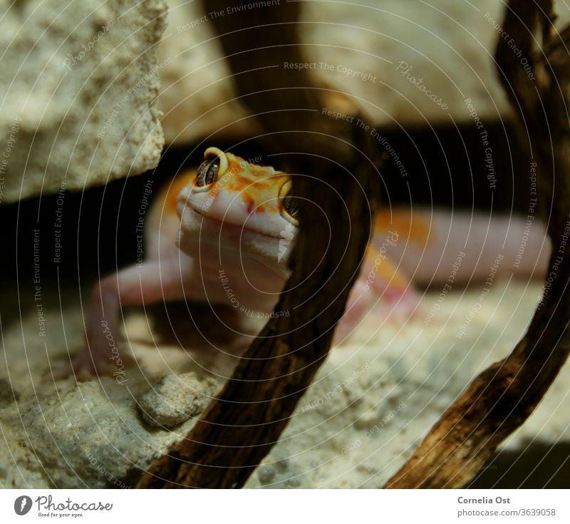 Der kleine Leopardgecko schaut neugierig durch sein Terrarium und wartet auf die Fütterung Gecko Tier Reptil Farbfoto Tierporträt exotisch Natur Nahaufnahme