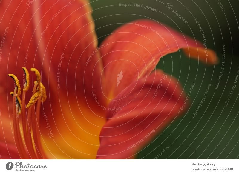 Gelb orange Taglilien Hemerocallis-Hybride in Nahaufnahme Taglilien (Hemerocallis) Lilien schön Blütenstempel Natur Blütenblatt Makroaufnahme Blume Lilium
