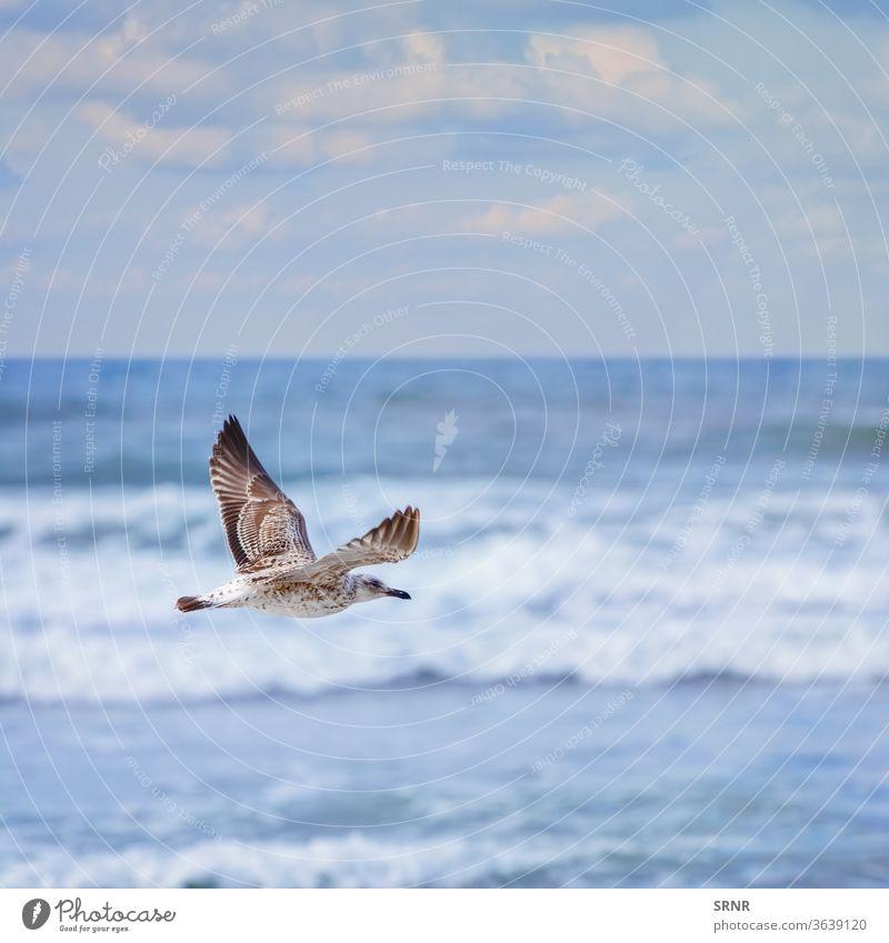 fliegende junge Möwe Tier Vogel Vogelwelt Vogelbeobachtung Sturmmöwe Fauna gefiedert federleicht Jungvogel Fliege Schweben miauen Mauke im Freien gehockt