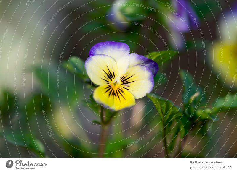 Violette und gelbe Viola Nahaufnahme Bratsche Stiefmütterchen Blume purpur weiß grün Natur Blütezeit Überstrahlung Haufen Pflanze Flora geblümt Blatt Blätter