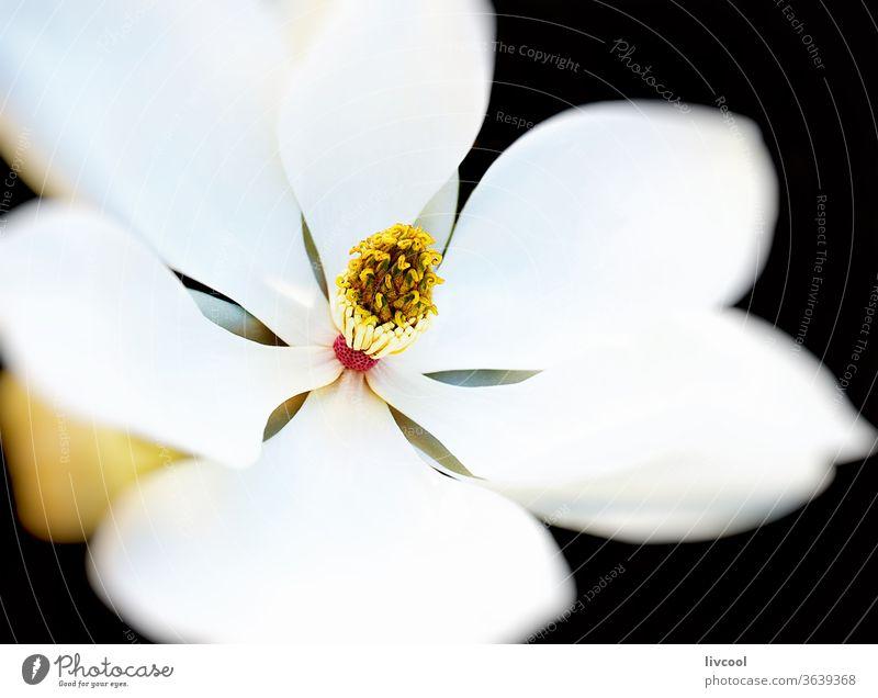 Magnolienblüte Blume weiß Natur Garten magnoliaceae magnolieae grünlich gelb Blütenblatt Flora Frankreich Europa weißes Blütenblatt große Blume tepalos