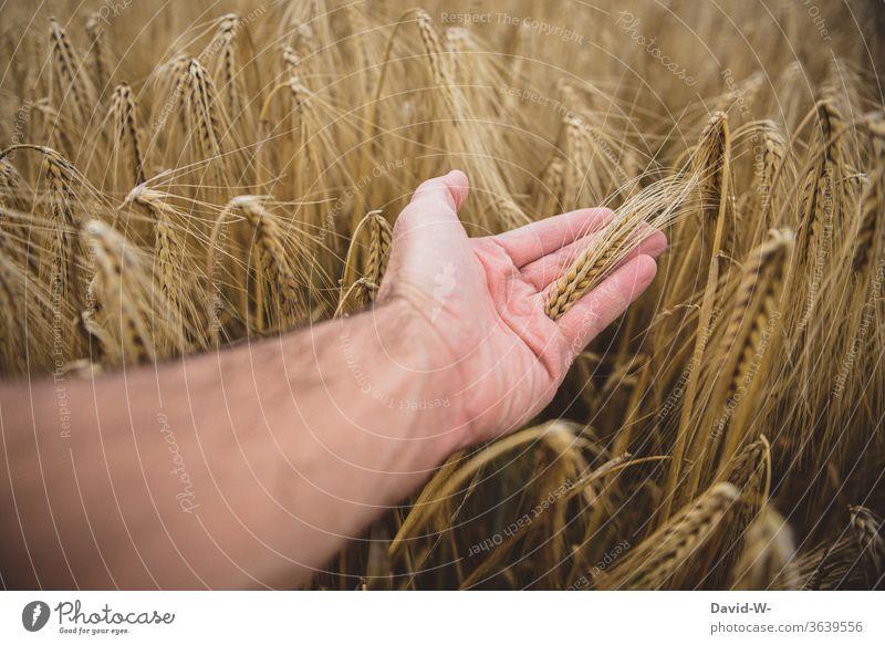 Hand fährt durch ein Getreidefeld Feld ernte Erntezeit Wachstum Bauern Landwirtschaft landwirtschaftlich Sommer Natur Nutzpflanze Farbfoto Pflanze Ähren