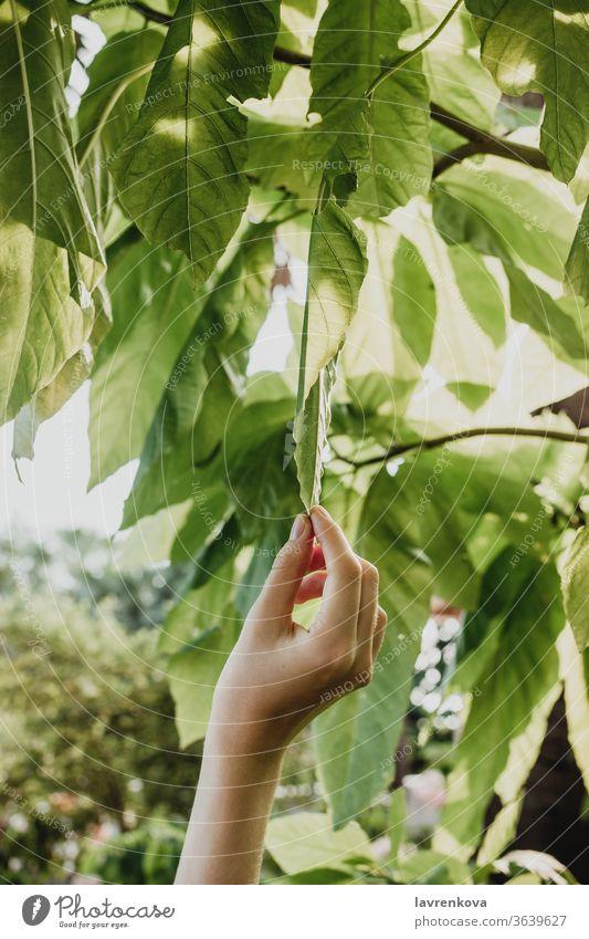 Nahaufnahme einer weiblichen Hand, die die Blätter eines Baumes zupft, Konzept der Naturnähe Wachstum Ast Blatt Umwelt Frau Finger frisch Garten Mädchen grün
