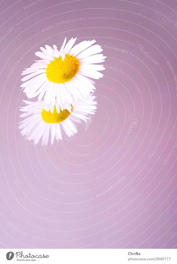 Gänseblümchen mit Spiegelbild auf zartlila Hintergrund pastell spiegelung somerlich Natur Blume Blüte Pflanze Nahaufnahme Farbfoto Schwache Tiefenschärfe schön
