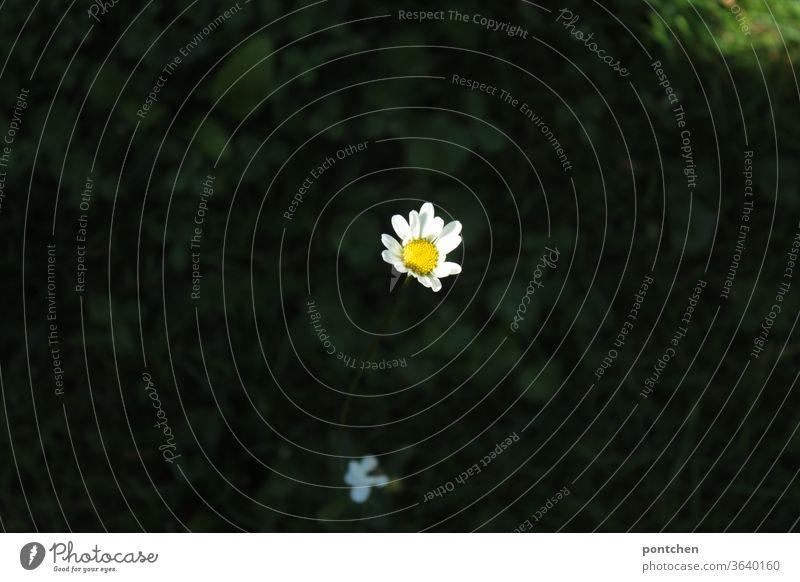 Eine Margerite in einer Wiese von oben . Schatten und Licht licht schatten blume pflanze blühen wiese garten grün gelb wildblume Natur Sommer Frühling