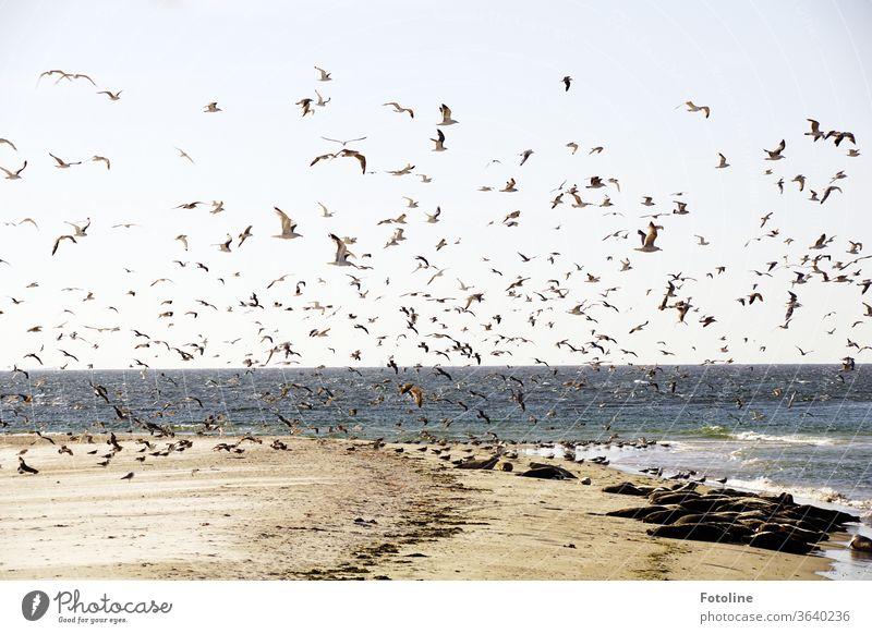 So ein Gewimmel, doch die Kegelrobben von der Düne Helgoland bringt nichts aus der Ruhe. Nordsee Nordseeküste Nordseeinsel Nordseestrand Nordseeurlaub Strand