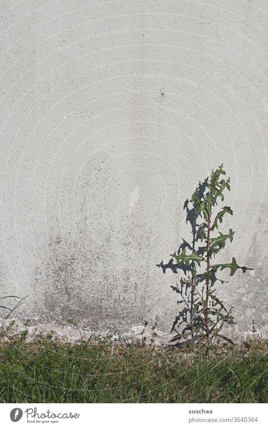 unkrautgewächs wächst einsam und allein an einer hauswand Unkraut Hauswand Mauer Mauerblume Pflanze Wachstum Schatten Gras grün Umwelt Wildpflanze Wiese Distel