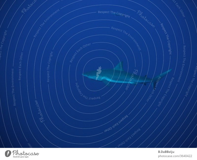 Ein kräftig gebauter Karibischer Riffhai zieht gemächlich seine Bahnen im Blauwasser an der Küste von Belize. Reisen Tauchen Urlaub ocean Hai blau Tier Fisch