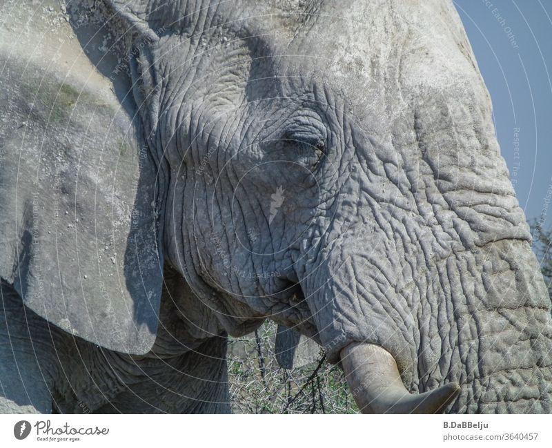 Der alte Elefant ist alleine in der Etosha-Pfanne unterwegs. Was hat er wohl schon alles erlebt.... Namibia Afrika Nationalpark Tier weise Wildtier Natur