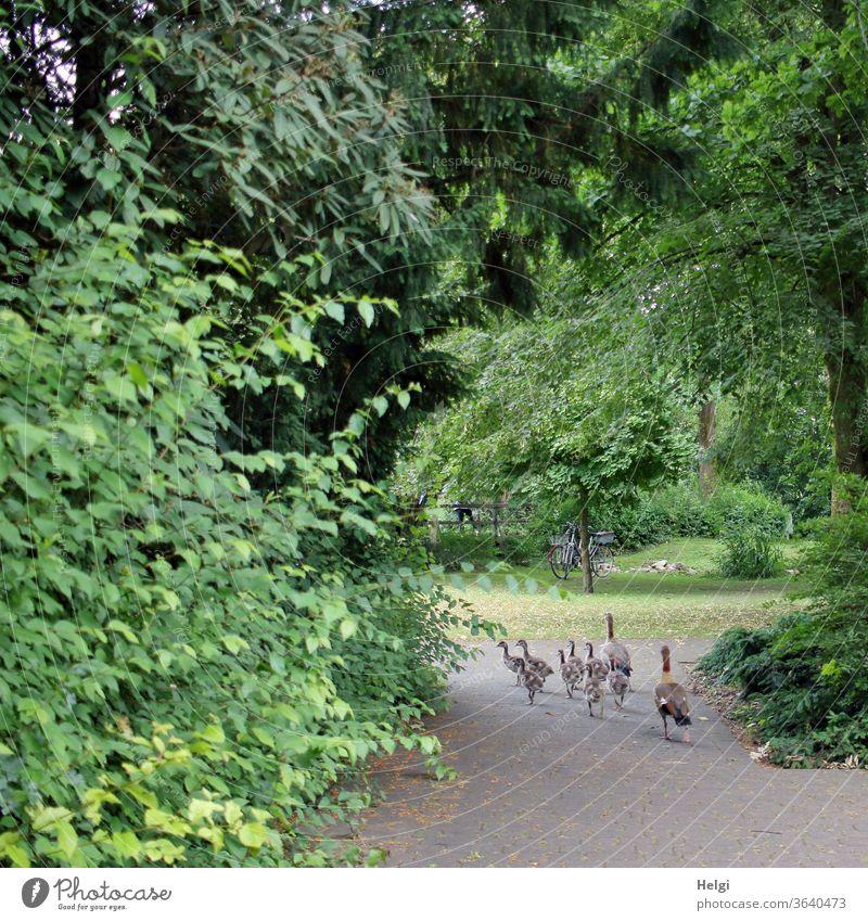 Familienausflug - Nilgänse mit 8 Jungtieren spazieren über einen Weg im Park Nilgans Gans Vogel Tier Tierfamilie Tierjunges Wildtier Außenaufnahme Natur Umwelt