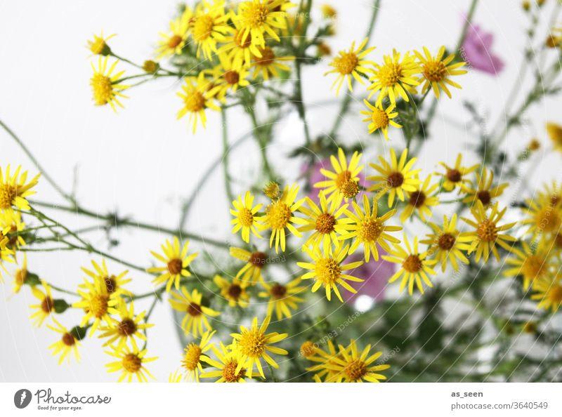 Geiskraut Blume gelb klein sternförmig Blüte Natur Pflanze grün Makroaufnahme Farbfoto Nahaufnahme Tag Detailaufnahme Unschärfe schwache Tiefenschärfe