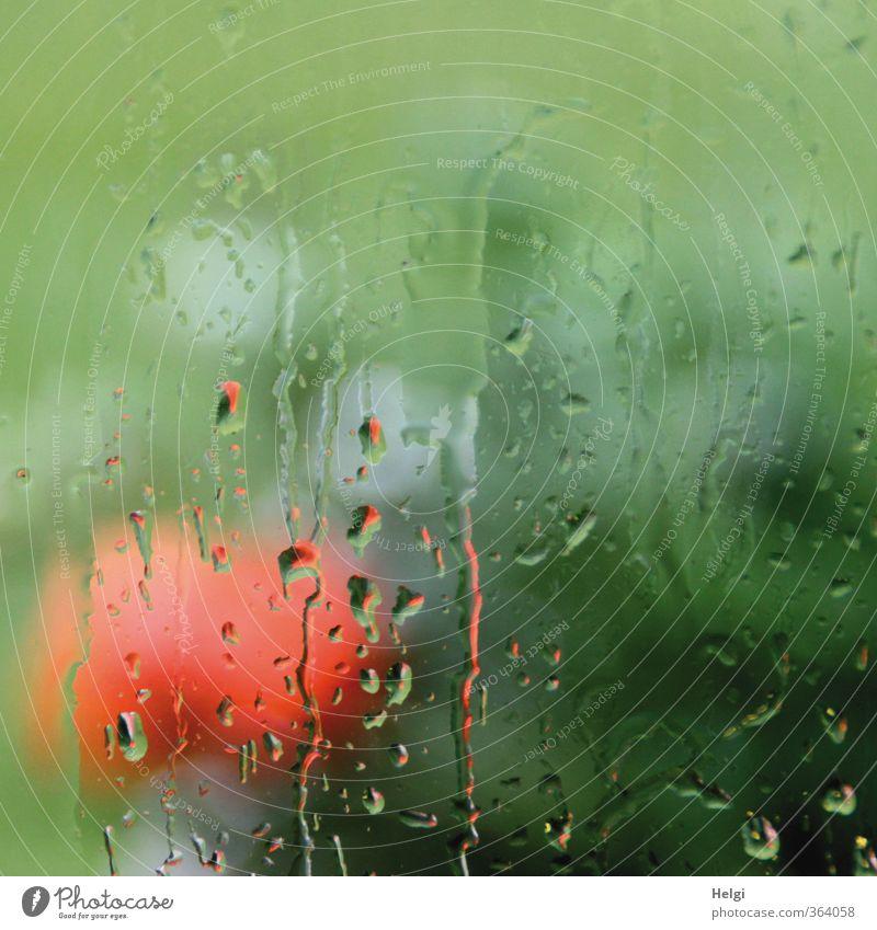 Sommerregen... Natur grün Pflanze rot Blume ruhig Blatt Traurigkeit grau Blüte Garten natürlich außergewöhnlich Stimmung Regen