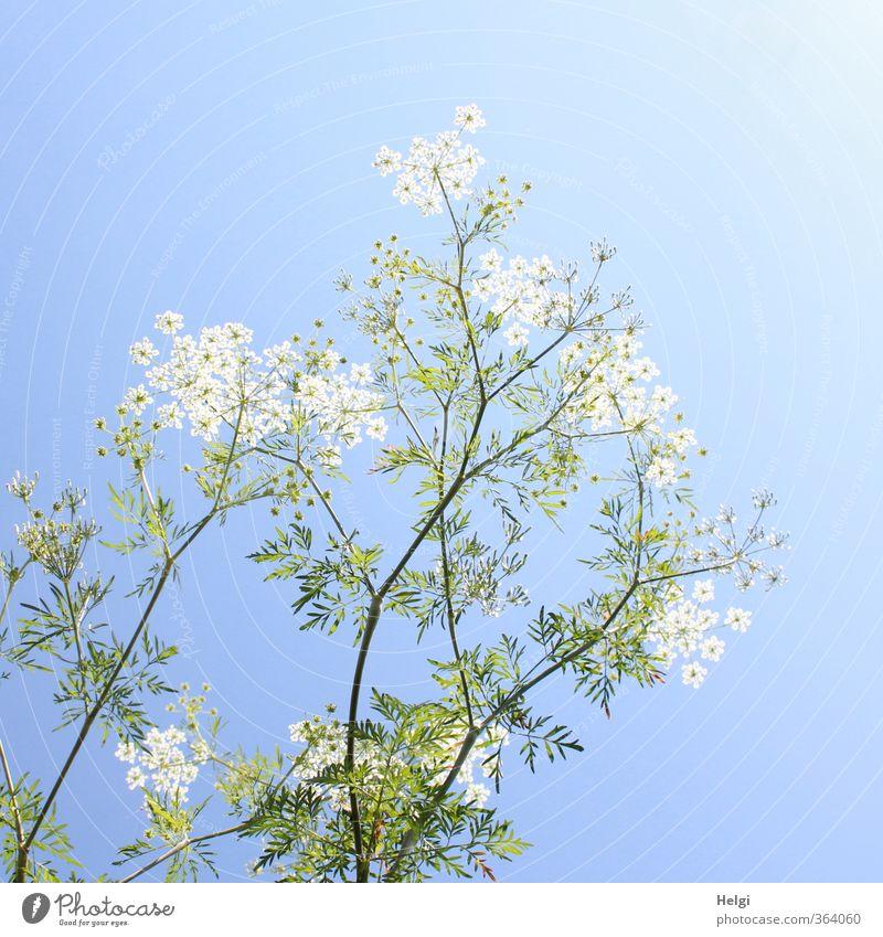 Pflanze | sommerlich... Umwelt Natur Wolkenloser Himmel Sommer Schönes Wetter Blume Blatt Blüte Wildpflanze Wiese Blühend stehen Wachstum ästhetisch hoch schön