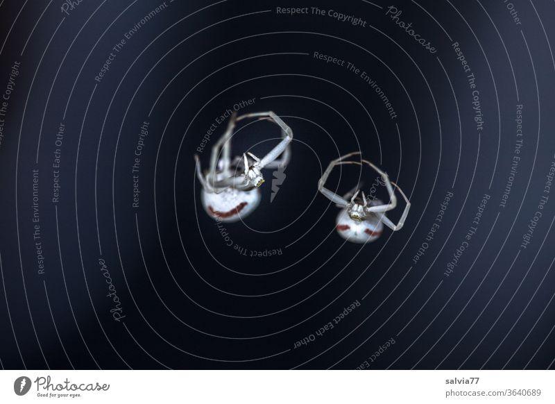 Gegensätze | schwarz - weiß Spinne Angst Ekel gruselig bedrohlich Natur 2 Makroaufnahme Kontrast krabbeln Menschenleer Tier Textfreiraum unten Freisteller