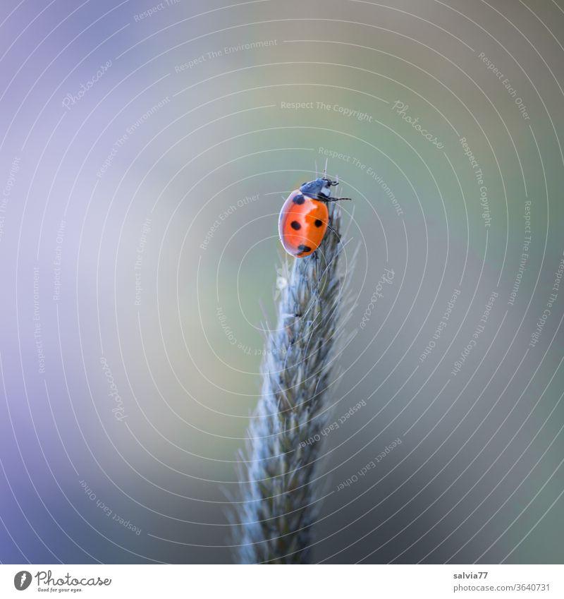 ganz oben Marienkäfer Glück Natur Käfer krabbeln Insekt Makroaufnahme Siebenpunkt-Marienkäfer Menschenleer Gräserblüte Hintergrund neutral Freisteller Kontrast