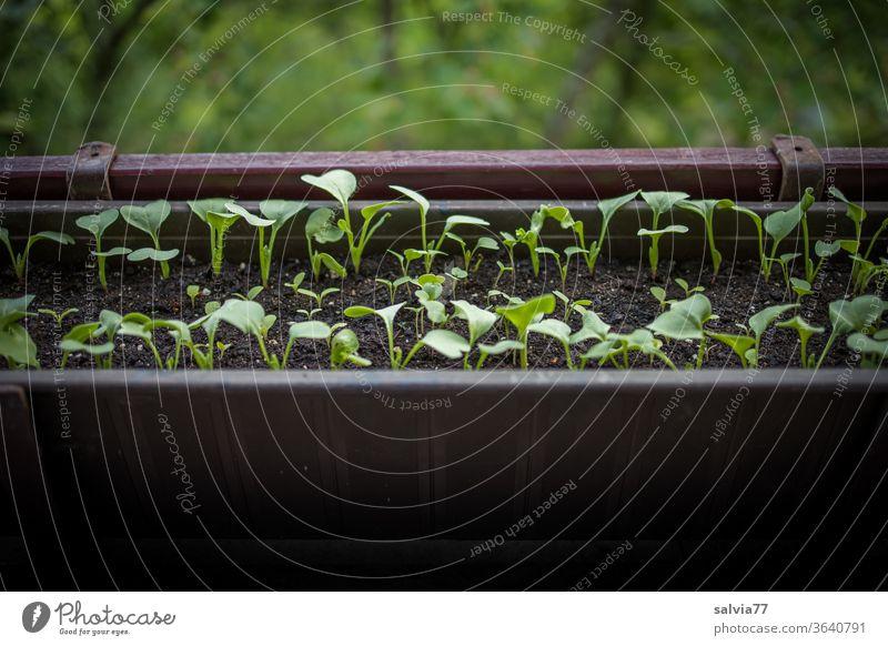 Gemüsezucht auf dem Balkon Radieschen Blumenkasten Balkonkasten Wachstum frisch Vegetarische Ernährung Lebensmittel natürlich lecker Bioprodukte Menschenleer