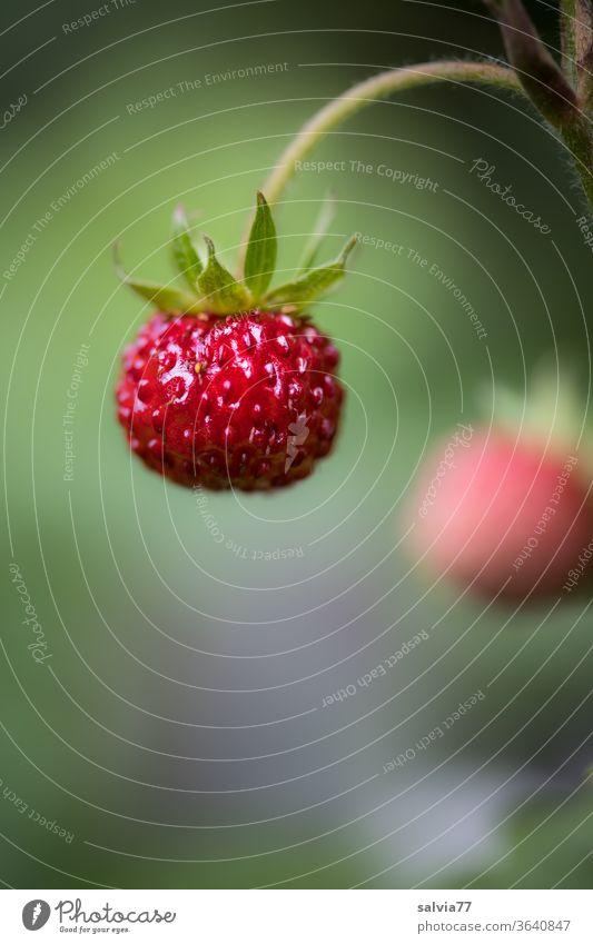 süßes Früchtchen am Stiel, reife Walderdbeere Erdbeere Frucht rot lecker Erdbeeren Wald-Erdbeere Pflanze frisch Natur natürlich Makroaufnahme Bioprodukte