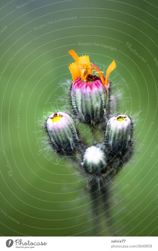Orangerotes Habichtskraut entfaltet langsam die Blütenblätter Natur Blume Blütenknospen entfalten Pflanze grün orange Sommer Blütenblatt behaart Makroaufnahme