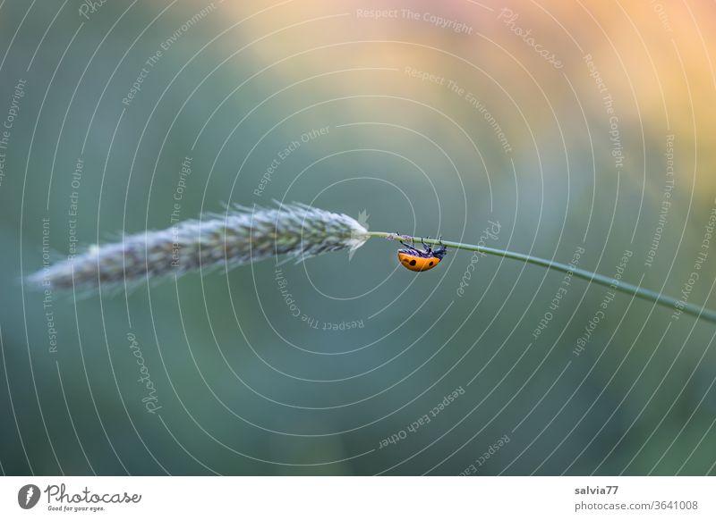 Marienkäfer klettert am Grashalm nach unten Siebenpunkt-Marienkäfer Natur klettern krabbeln Wiesenfuchsschwanz Halm Insekt Farbfoto Glück Pflanze Tier
