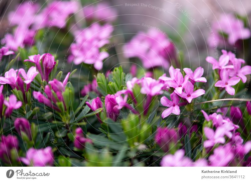 Winzige, zartrosa Daphne-Blüten blühen im Frühling. Seidelbast Blume geblümt Blütezeit Flora purpur grün Natur Sommer filigran Detailaufnahme Nahaufnahme Makro