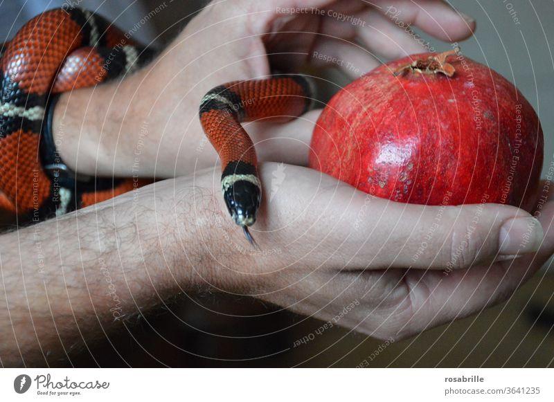 Sündenfall - Schlange mit interessanter | Farbkombination Versuchung Frucht Granatapfel Apfel Hände halten anbieten rot gefährlich Gefahr kriechen Gift giftig