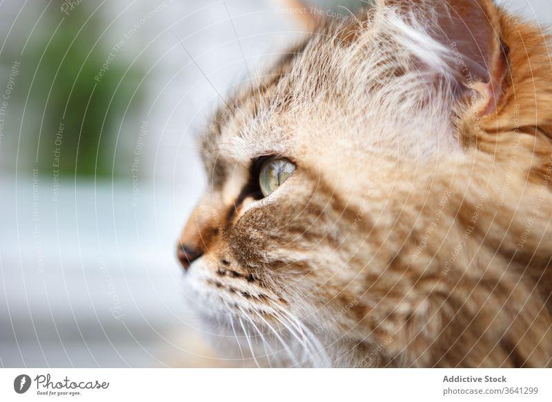 Süße Katze mit gestromtem Fell Tabby sich[Akk] entspannen Fussel Kätzchen niedlich Tier heimisch Haustier heimwärts katzenhaft Säugetier bezaubernd Freund weich