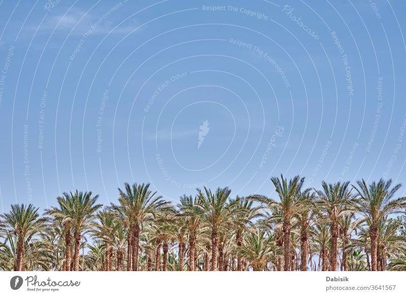 Palmen am Strand-Meer. Touristische Saison Handfläche Baum Regenschirm Sommer MEER Urlaub reisen Sand tropisch blau Himmel Erholung Natur Wasser Paradies Resort