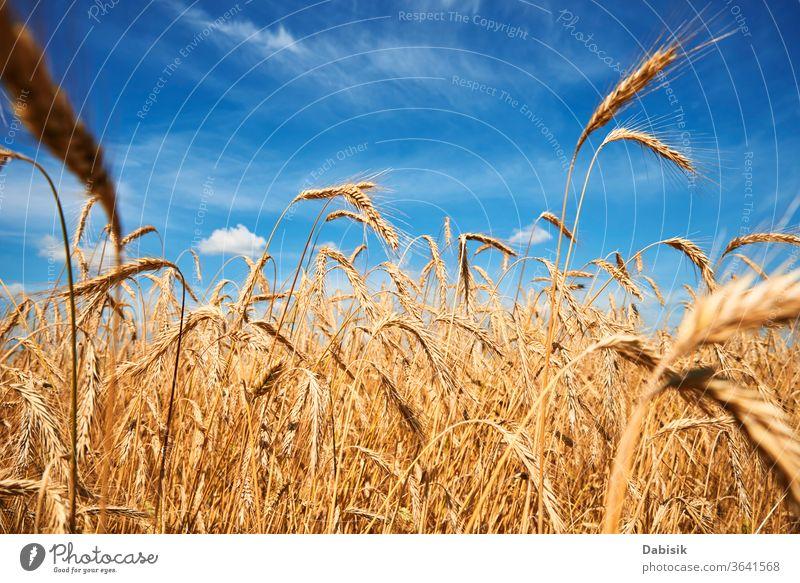 Roggenohren schließen sich. Roggenfeld an einem Sommertag. Ernte-Konzept Feld Korn Ohr Weizen golden Bauernhof gelb Müsli reif Ackerbau Gerste Landschaft Samen