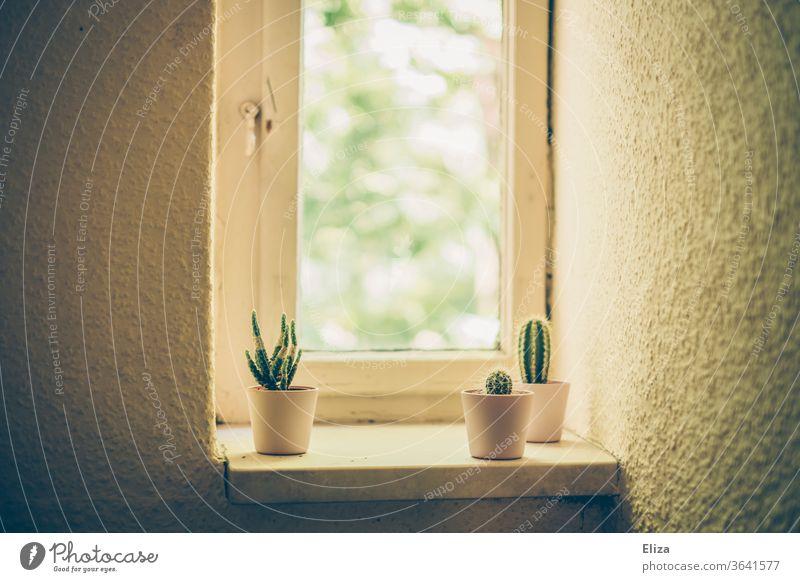 3 kleine Kakteen auf dem Fensterbrett einer Altbauwohnung retro Pflanzen trist Klofenster Wand alt Wohnung