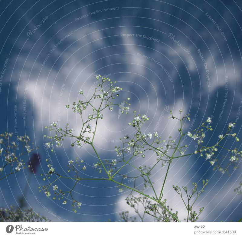 Schleierkraut Pflanze dünn klein zerbrechlich zart durchsichtig Gedeckte Farben Nahaufnahme Detailaufnahme Strukturen & Formen Außenaufnahme Farbfoto