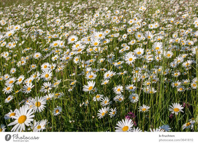 Ein Meer an Margeriten, Wiese mit Margeriten Margeritenwiese blumen Natur Pflanze Blüte Blume Sommer Außenaufnahme Frühling Blumenwiese Gras Blühend Garten